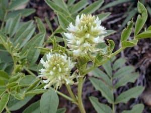 פריחת צמח הליקוריץ
