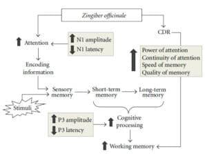 השפעת הג'ינג'ר על תשומת לב, יכולות קוגנטיביות וזיכרון [7].